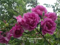 Rosa x infertilis