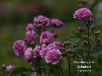 Excellenz von Schubert