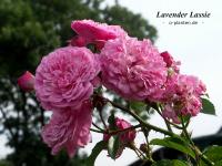 Lavender Lassie