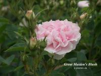 Great Maiden's Blush