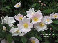 Rosa x richardii