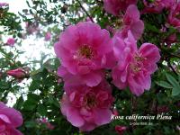Rosa californica Plena