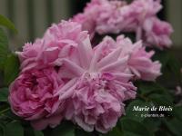 Marie de Blois