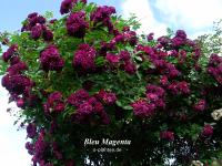 Bleu Magenta