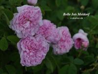 Belle Isis (Meldorf)