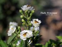 Thalia Remontant