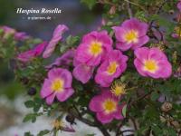 Haspina Rosella