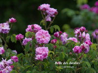 Belle des Jardins