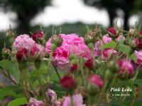 Pink Leda