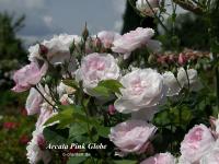 Arcata Pink Globe