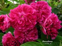 Russeliana