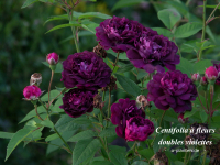 Centifolia à Fleurs Doubles Violettes