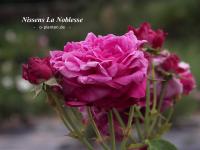 Nissens La Noblesse