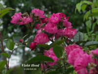 Violet Hood