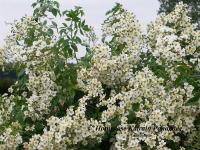 Honigrose Katrain Panachée