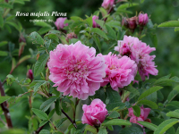 Rosa majalis Plena