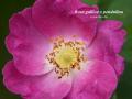 Rosa gallica x pendulina