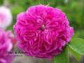 Fleurs de Pelletier
