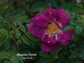 Haspino Violett