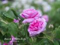 Rose de la Maître-École